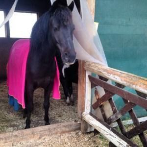 Herr Pony trägt eine pinke Abschwitzdecke, nachdem er an einem Regentag in den Stall gekommen ist.
