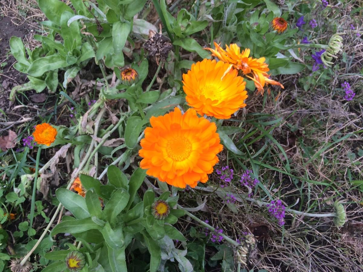 Heilkräuter für Pferde - Ringelblume