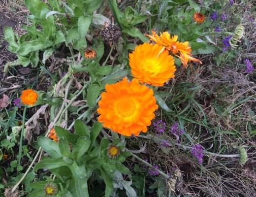 Heilkräuter für Pferde, Ringelblume