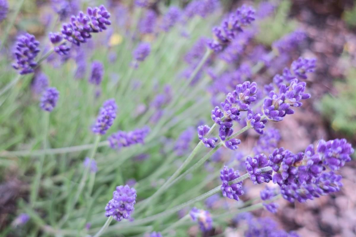 Heilkräuter für Pferde - Lavendel
