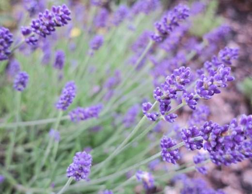 Lavendel Pferde