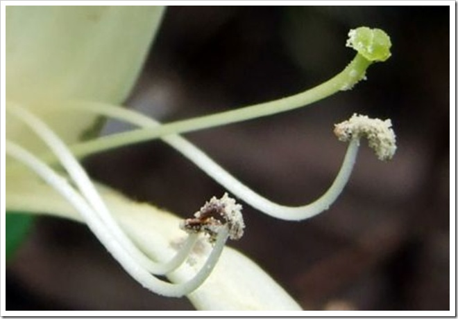 Pollinated Stamens_01