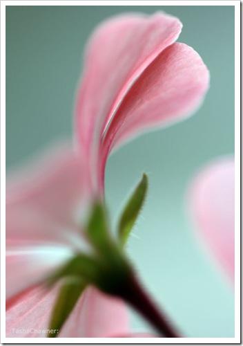 Delicate Pink Petals_01