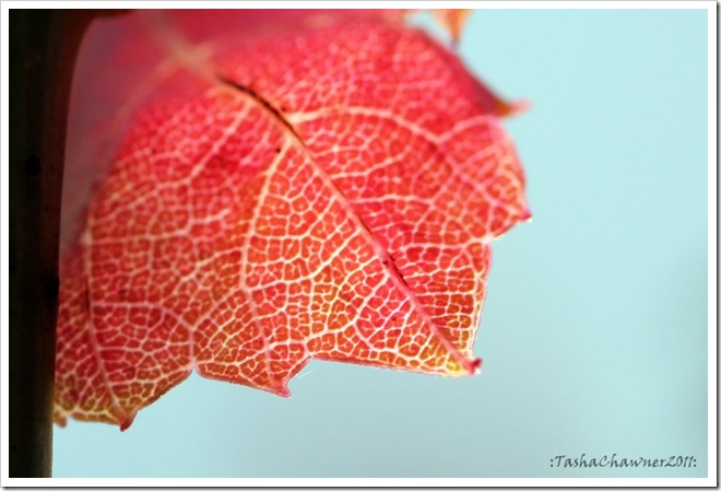 Day 83 - Red Leaf