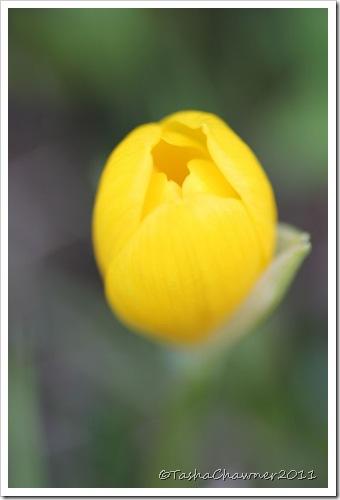 Day 122 - Autumn Tulip