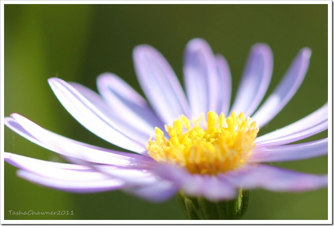 Day 142 - Purple Daisy