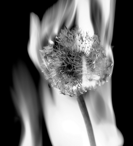 Dandelion on fire by  Jay Berg on Flickr
