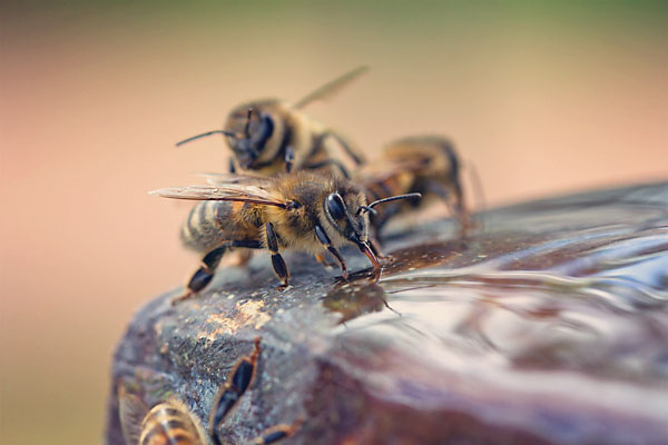 bees-drinking-original