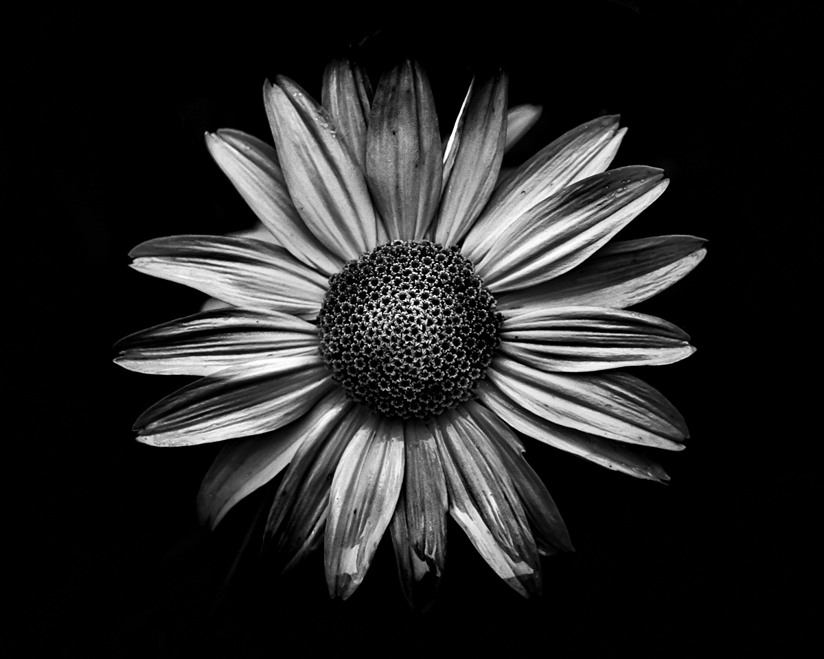 flowers in detail - Backyard Flowers in Black and White by Brian Carson