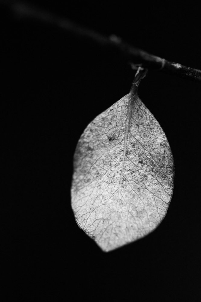 black and white dying leaf photo