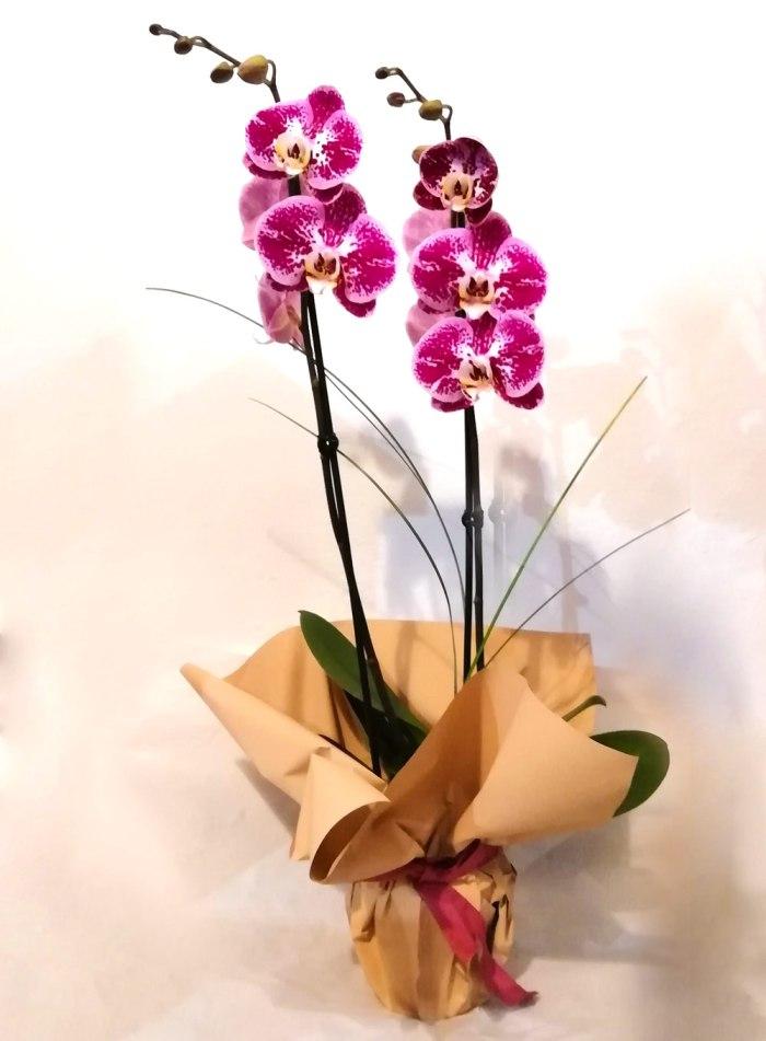 Pianta - orchidea phalenopsis
