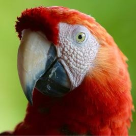 A red Macaw on Îles du Salut.