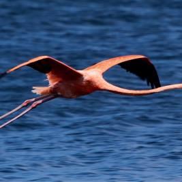 A Caribbean Flamingo on Lake Gotomeer, Bonaire.