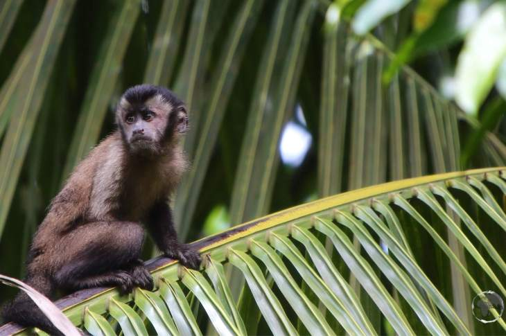 French Guiana Travel Guide: Capuchin monkey on Îles du Salut.