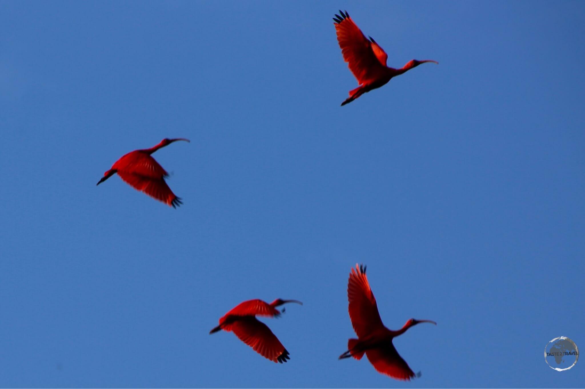 The iconic Scarlet Ibis at Caroni bird sanctuary.