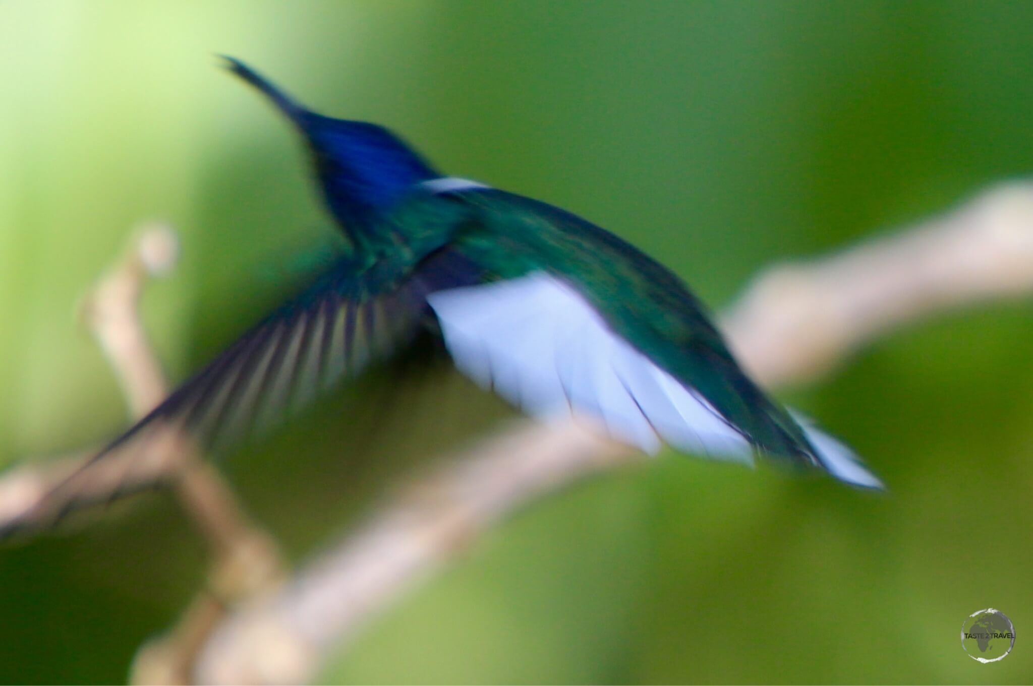 White-necked Jacobin hummingbird in flight at the Asa Wright nature centre.