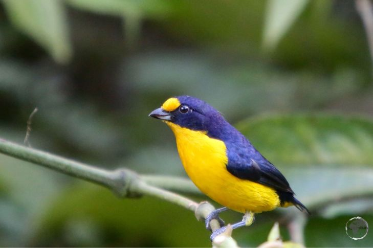 A colourful male Violaceous Euphonia at the Asa Wright Nature Centre.