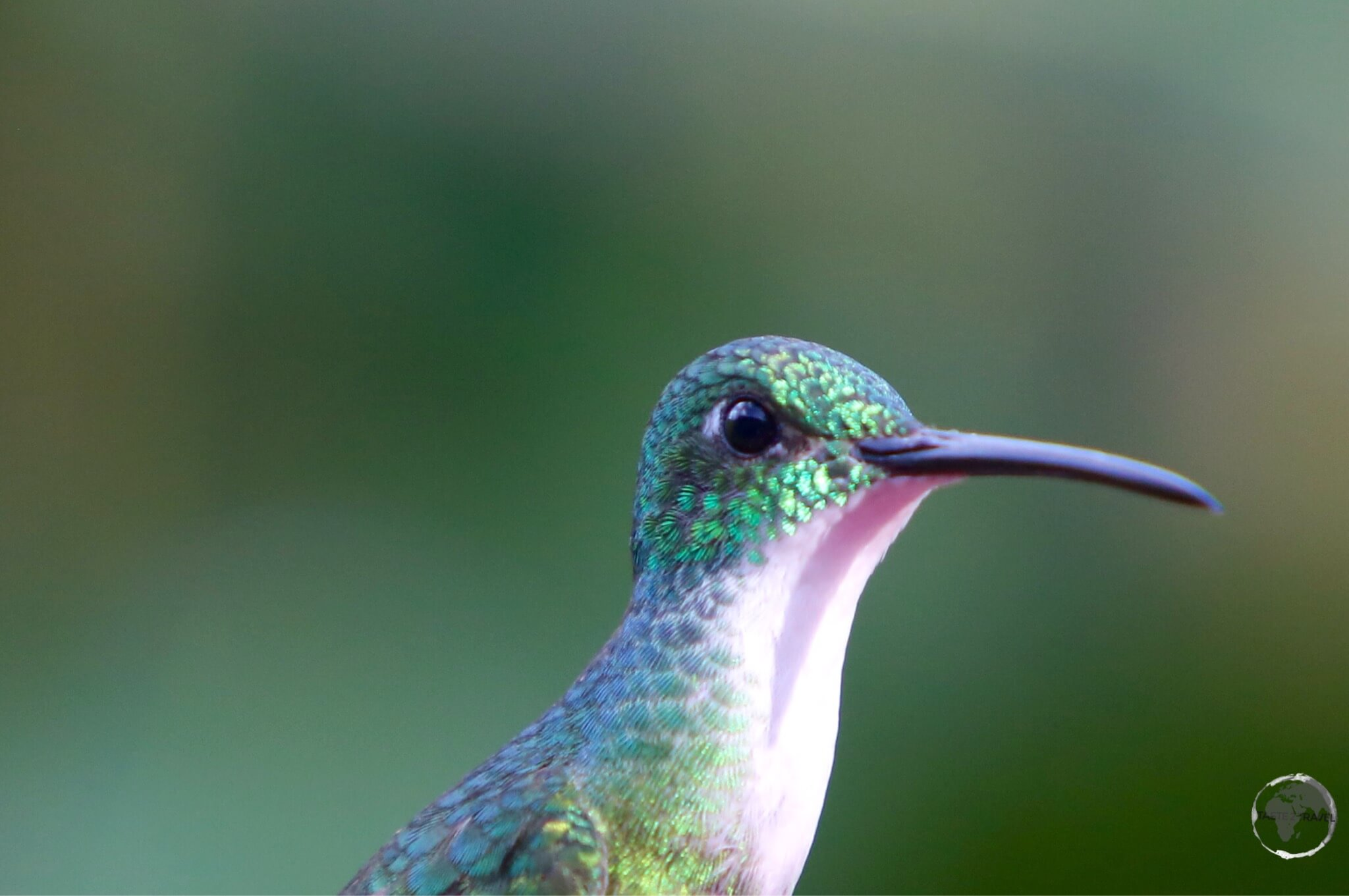 Female white-necked Jacobin hummingbird at Asa Wright nature centre.