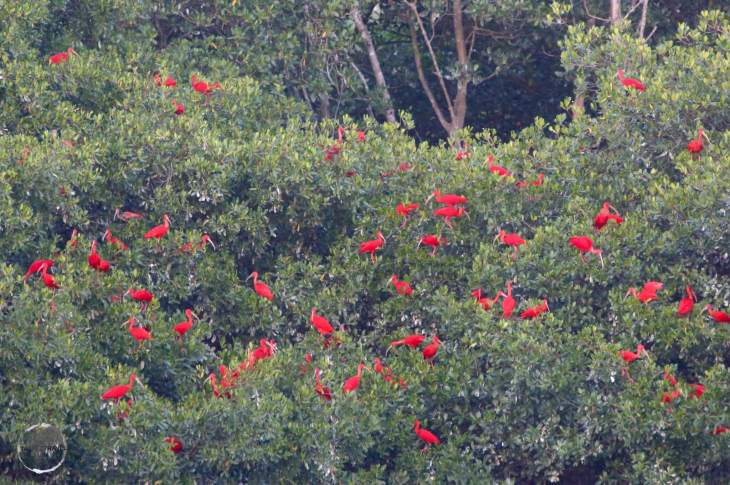 At Caroni bird sanctuary, Scarlet Ibis gather in large flocks at dusk, where they roost for the night.