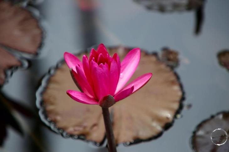 Barbados Travel Guide: Water lily at Codrington college