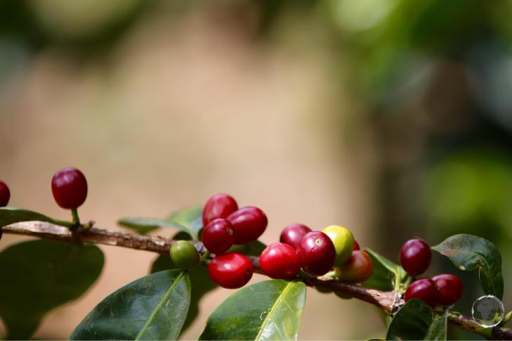 The famous Geisha coffee at Finca Lerida. The beans sell in Japan for US$260 per kilo.