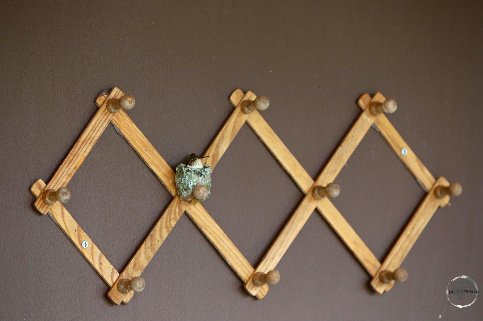 A coat rack at Finca Lerida serves as a nesting site for a Scintillant hummingbird