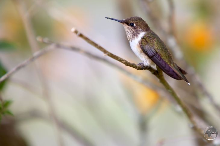 Female Scintillant hummingbird