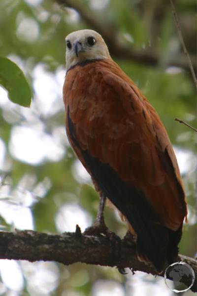 Black-collared hawk at Bigi Pan Nature Reserve.