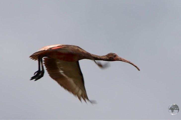Juvenile Scarlet Ibis at Bigipan Nature Reserve.