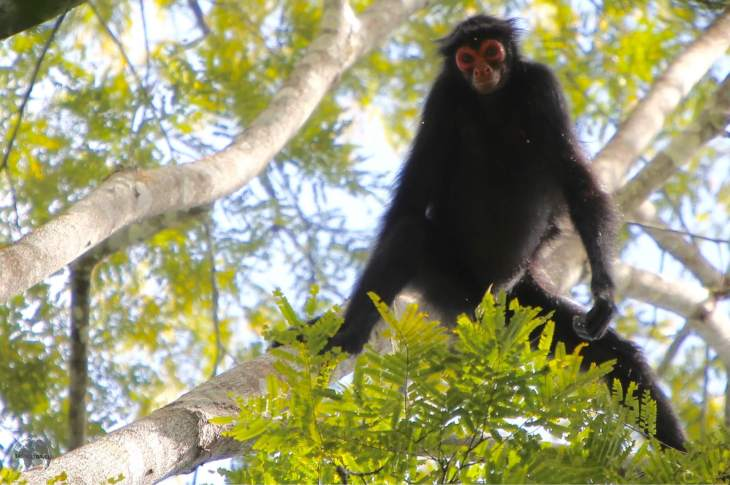 Spider Monkey at Iwokrama Forest