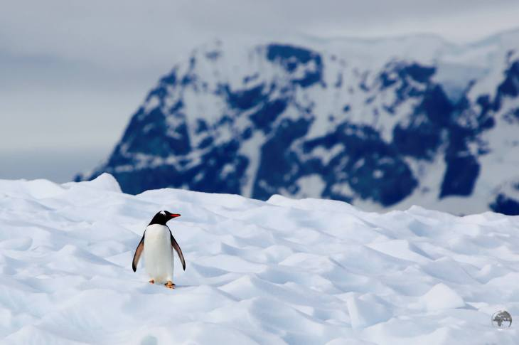 A Gentoo penguin on an ice floe in Paradise bay.
