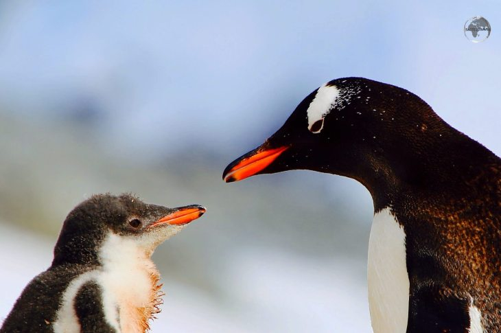 An Adelie Penguin with her chick in Antarctica.