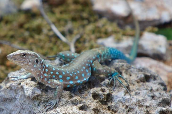 Indigenous Aruban whip-tail lizard.