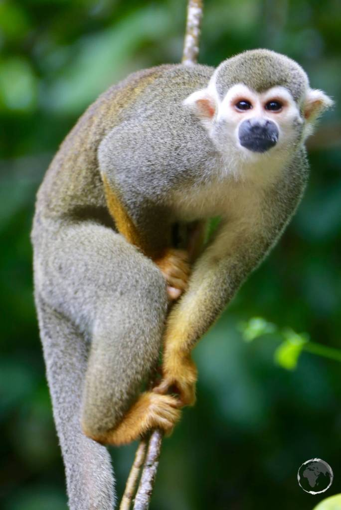 A Squirrel monkey on Îles du Salut.