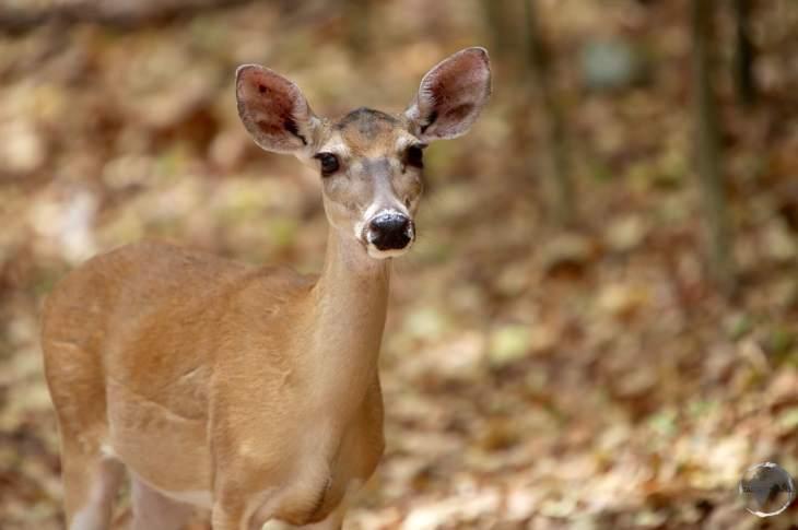 United States Virgin Islands Travel Guide: White Tailed deer on St. John