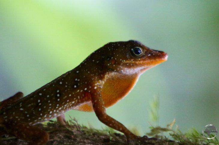 Dominican tree lizard - or 'Zandoli' at the Emerald Pool, Dominica.