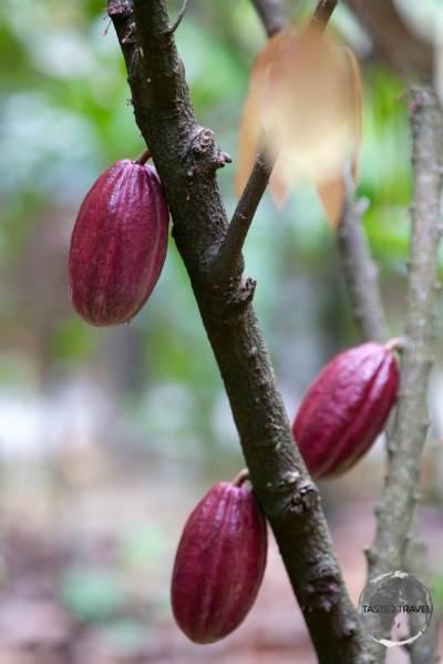 Cocoa tree at La Maison du Cacao.