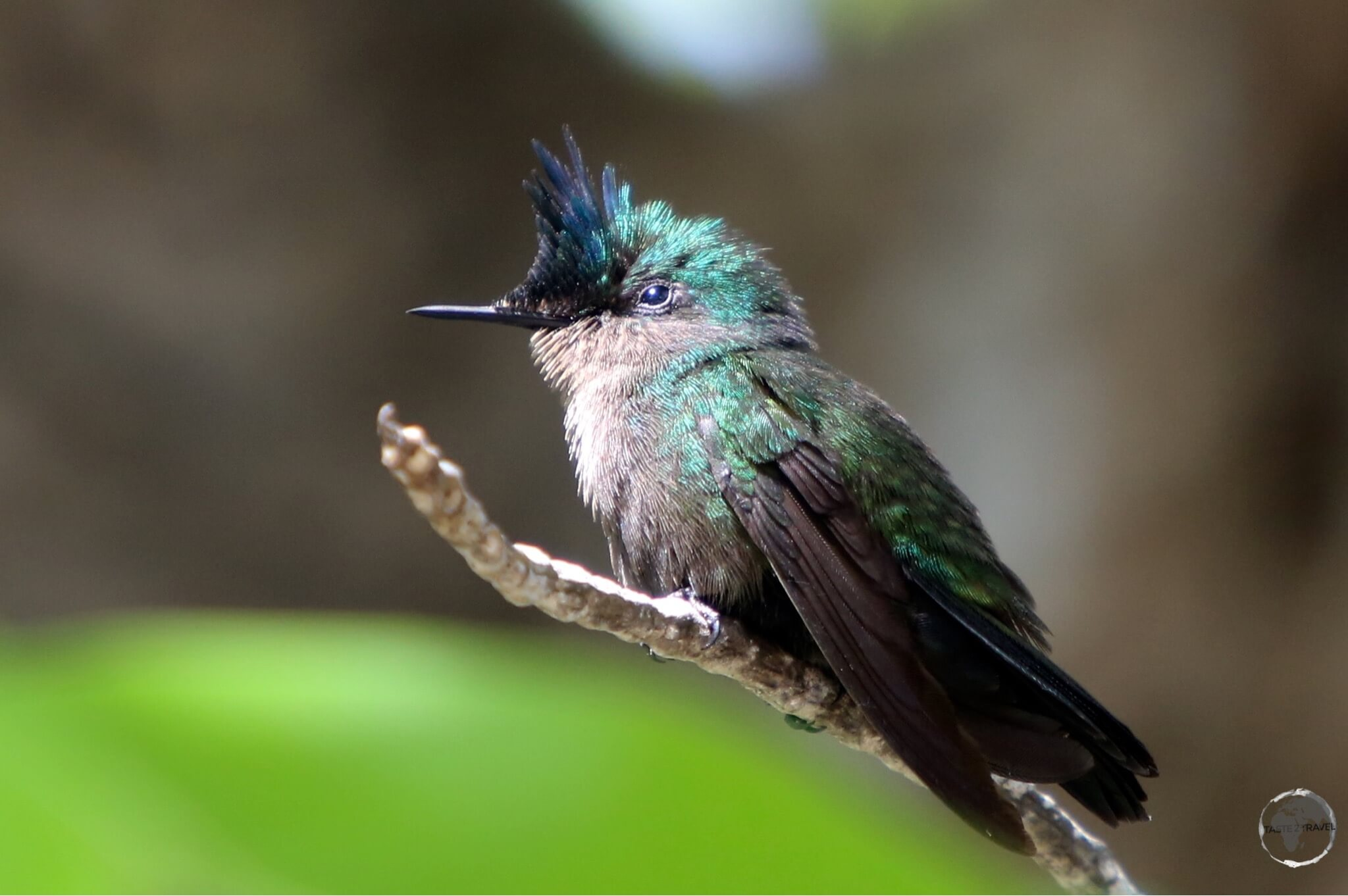 The Antillean Crested Hummingbird on Martinique.