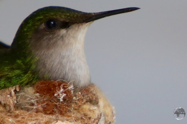 A nesting White-throated Hummingbird in Windwardside.