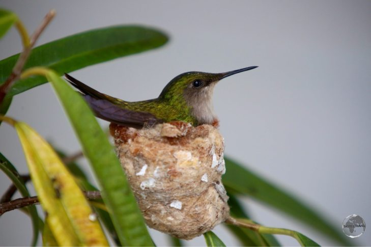 A white-throated hummingbird nesting outside my room in Windwardside.