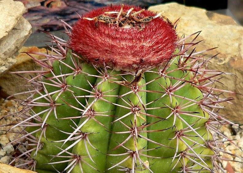 Turks head cactus on Provo island.