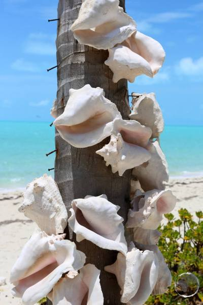 Conch shell decoration on Long Bay.
