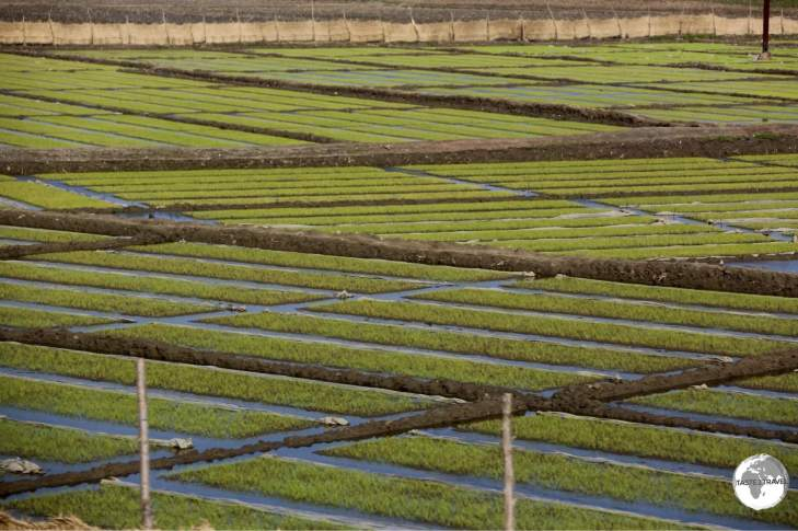 Rice seedlings being prepared for transplanting into adjacent paddies.