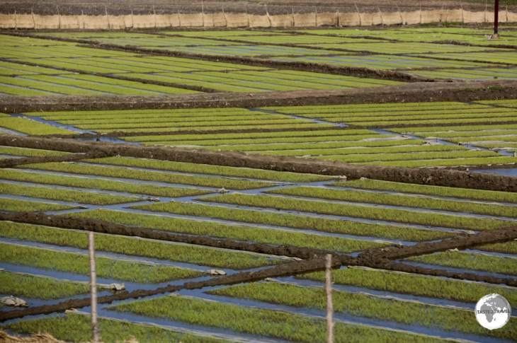 Rice seedlings being prepared for transplanting into nearby paddies outside of Nampo city.