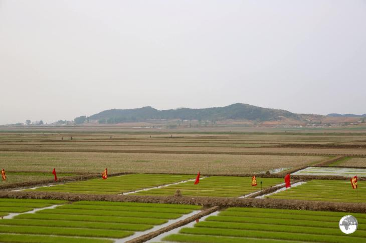 Rice seedlings being harvested near Nampo. All arable land is intensely farmed - mostly by hand.