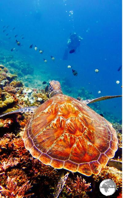 A magical rendezvous as I approach a Hawksbill turtle.