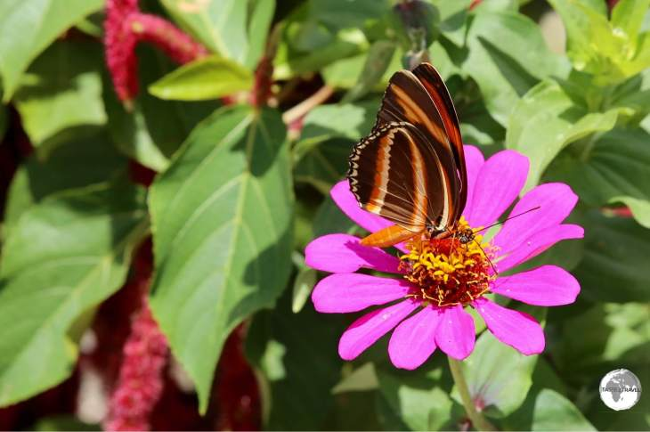 Isabella's Longwing.