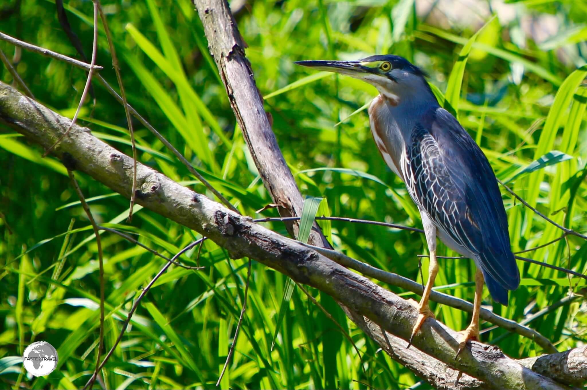 Black-crowned Night Heron on Wakenaam island.