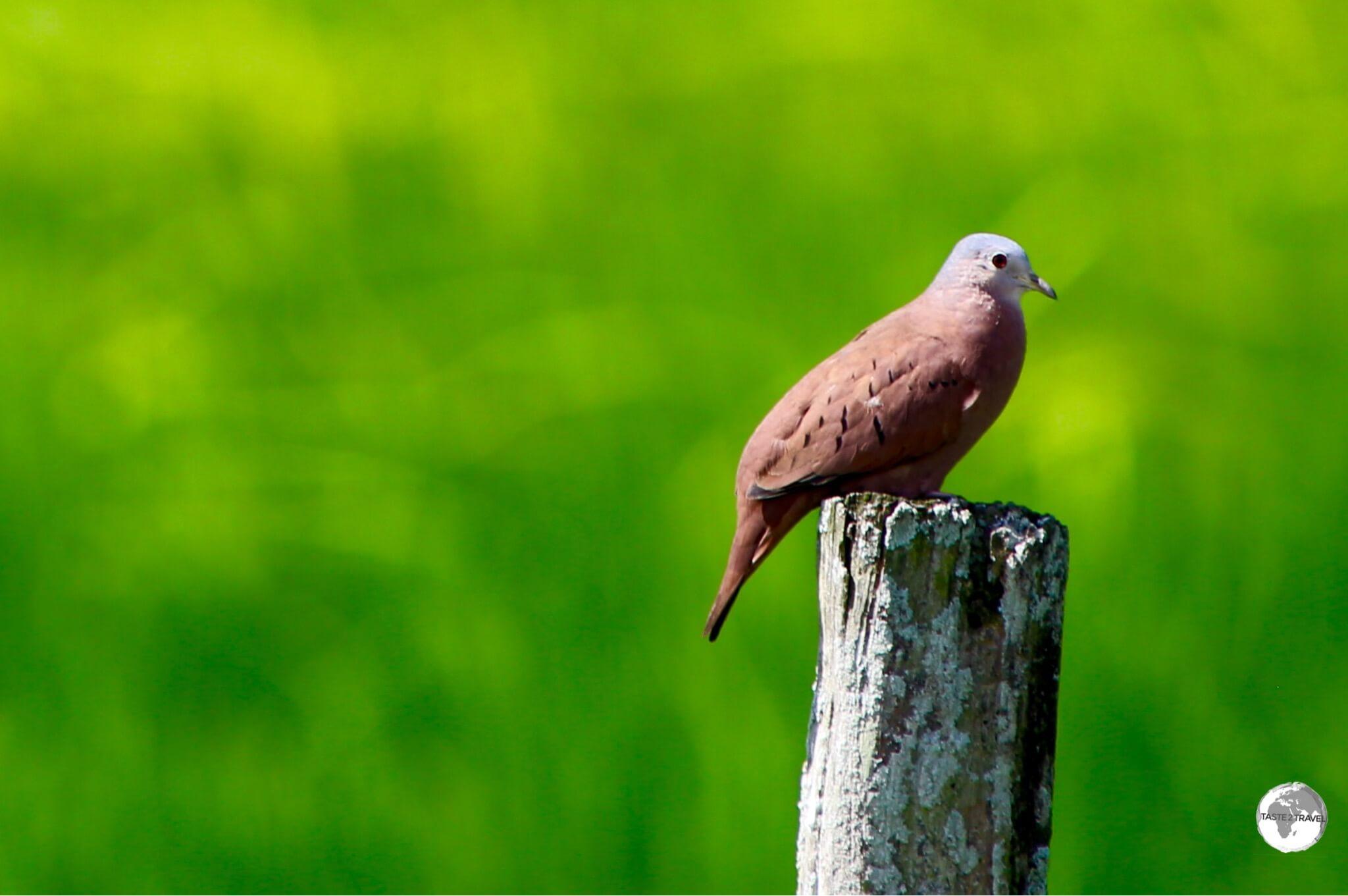 Ruddy Ground Dove on Wakenaam island.