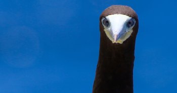 Adult Brown Booby, Cayman Brac
